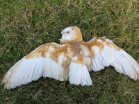 Two More Endangered Barn Owls Killed On Tralee Bypass