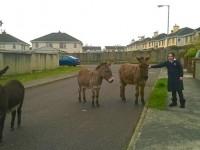 Three Donkeys Found Wandering Around Ballyvelly Estate