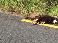 Dead Cat Painted Over On Road Near Ballyheigue