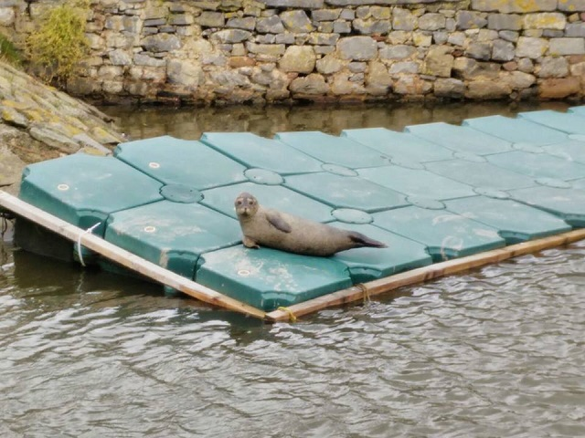 A baby seal relaxing by boat club in the Marina. Photo by Revathi Nukala.