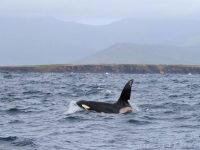 A killer whale spotted off the coast of Slea Head. Photo by Richard Creagh.