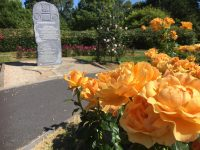 PHOTOS: A Good Year For The Roses In The Town Park