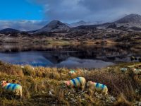 Ewes on the Move….at Lough Accose, Glencar Co Kerry. Photo:Valerie O'Sullivan