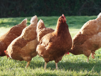 An animal charity is asking Tralee homes to take in 'spent' hens.